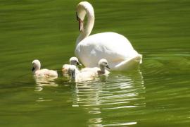 Cisnes de s'Hort del Rei, Palma