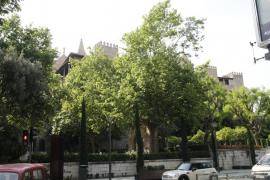 Cort inicia la operación 'renove' de los árboles de Palma