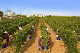 Balears produjo el año pasado un 5,97% más de vino que en 2012