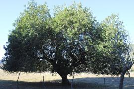 Algarrobo en Mallorca