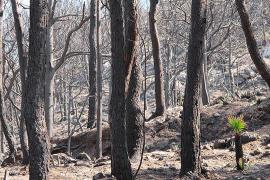 bosque incendiado en Andratx