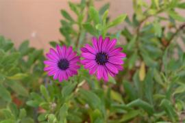 flores en Mallorca