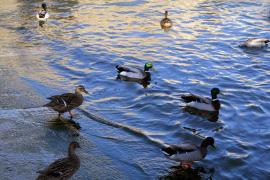 ocho patos