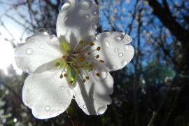 Flor de Almendro en Andratx