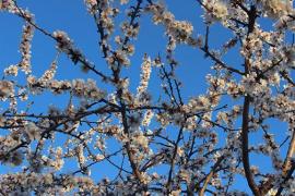 flores de almendro en Mallorca