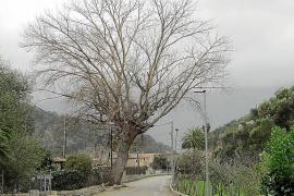 El Consell paraliza la tala del chopo del Camp de sa Mar