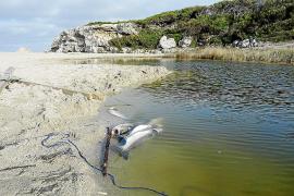 Los técnicos atribuyen la muerte de peces de Son Bauló a la falta de oxígeno