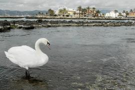 El cisne viajero