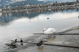 El alcalde de Andratx indica que la ubicación actual de los cisnes es temporal