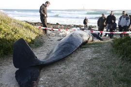 El Govern y Marineland atendieron a 25 cetáceos varados en la costa balear