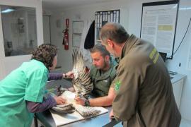 Rescatan un águila pescadora herida en aguas del Parque Nacional de Cabrera
