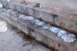 Sorprendido un hombre con un total  de 13 pulpos recién pescados en el Portixol