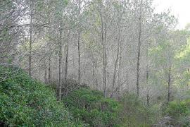 El excedente forestal de Balears podría generar electricidad para 45.000 viviendas
