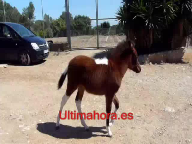 Nace en Algaida un cebrallo, hijo de yegua y cebra
