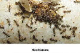 Manel Santana presenta 'El sementer de ses Mines'