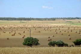 Los payeses prevén una producción de cereal un 30 % inferior a la del año pasado