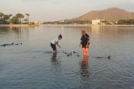 Liberan en mar abierto a los doce delfines varados en Alcúdia
