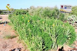 Detenido un vecino de Campos de 61 años con 160 plantas de marihuana