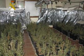 Desmantelan una plantación de marihuana con 1.390 plantas en Inca