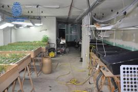 Cuatro detenidos y más de 2.000 plantas de marihuana incautadas
