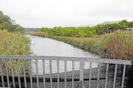 Alarma vecinal por la aparición de patos muertos en el Torrent de Canyamel