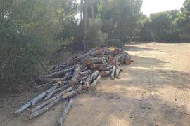 El Consistorio de Calvià dice que la tala de pinos en Illetes tenía autorización del Govern