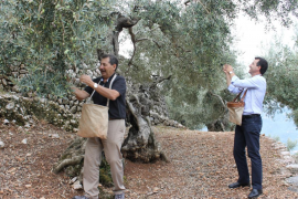 La cosecha de la oliva de Mallorca comienza con buenas perspectivas