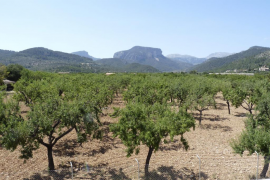 Balears recibirá subvenciones para la reconversión y modernización del viñedo, almendros y algarrobos