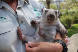 Chloe, el pequeño wombat