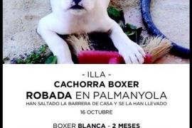 Desaparece una cachorra boxer en Palmanyola