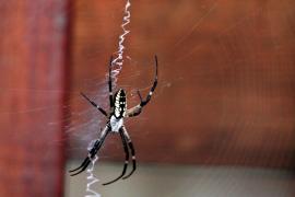 Una araña excavó en el pecho  de un turista en Indonesia