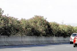 Las adelfas de la carretera Palma-Manacor se abren paso