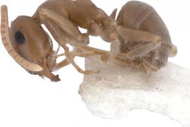 Una especie de hormiga mallorquina, en peligro de desaparecer