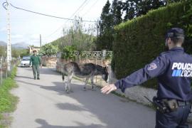 Persecución policial de un asno desbocado en Andratx