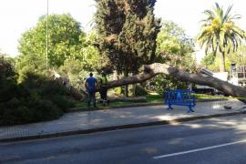 Cort replanta los árboles de la Porta des Camp