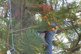 Esporles prepara el árbol de Navidad «más alto de Mallorca»
