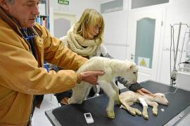 El Ajuntament de Andratx denunciará al dueño de los animales maltratados