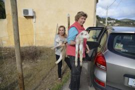 El dueño de los animales de Andratx denunciará a los vecinos que entraron en la finca