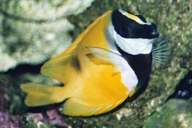 Los peces conejo, una amenaza para el Mediterráneo