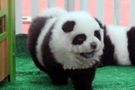 Italia cierra un circo que exhibía perros Chow Chow camuflados de osos panda