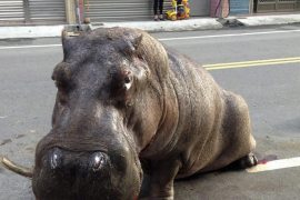Muere el hipopótamo que sembró el pánico en Taiwán