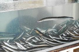Sa Pobla consumirá unas cuatro toneladas de anguila durante la festividad de Sant Antoni
