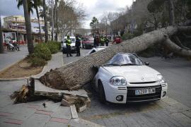 Un pino cae en Peguera a causa del viento y aplasta un coche aparcado