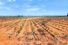 Cultivo de olivar