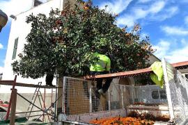 Manacor inicia la recogida de naranjas de los árboles municipales