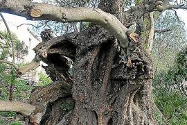 MÉS presenta una propuesta para proteger los árboles de Capdepera
