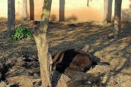 Nuevo caso de maltrato animal en Llucmajor