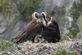 Un total de 17 pollos de buitre negro echaron a volar el año pasado en Mallorca