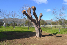 Reubican los emblemáticos árboles de la Plaça des Mariners de Cala Rajada