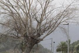 Autorizan la poda de un chopo centenario en la carretera del Port de Sòller